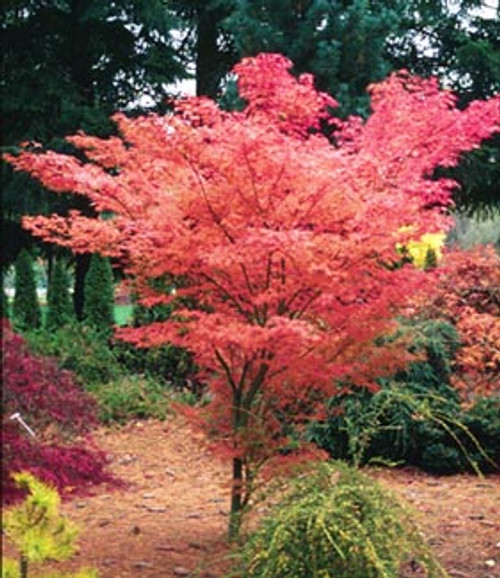 Acer palmatum ' Ao kanzashi ' Japanese Maple Tree