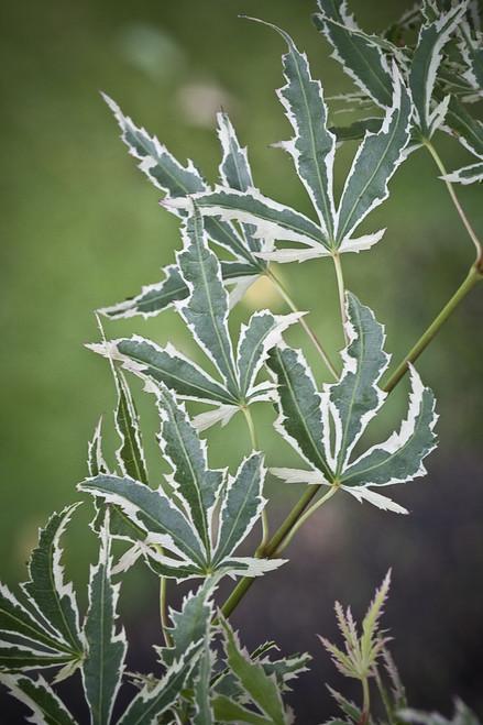 Acer palmatum 'Butterfly' Japanese Maple Tree