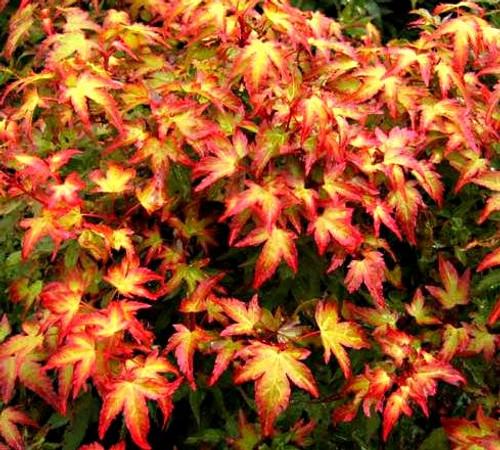Acer palmatum 'Murasaki kiyohime' Dwarf Japanese Maple