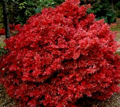 Acer palmatum 'Shaina' Japanese Maple tree