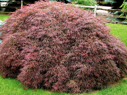 Acer palmatum dissectum 'Crimson Queen' Weeping Cutleaf Red Japanese Maple
