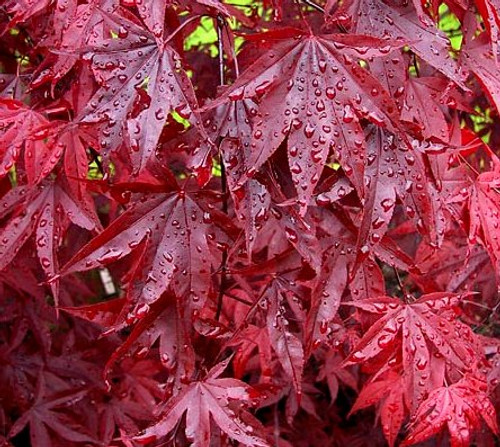 Acer palmatum 'Emperor 1' Japanese Maple tree