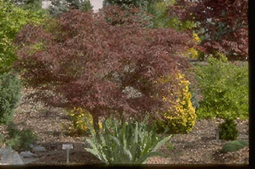 Acer palmatum 'Red Pygmy' Dwarf Japanese Maple Tree