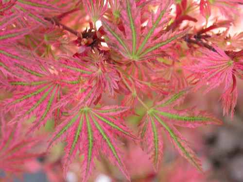 Acer palmatum 'Abagail Rose' Dwarf Japanese Maple Tree