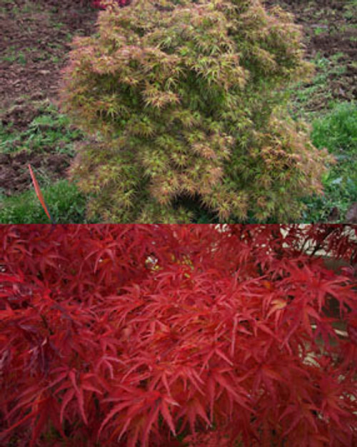 Acer palmatum 'Kamagata' Dwarf Japanese Maple Tree