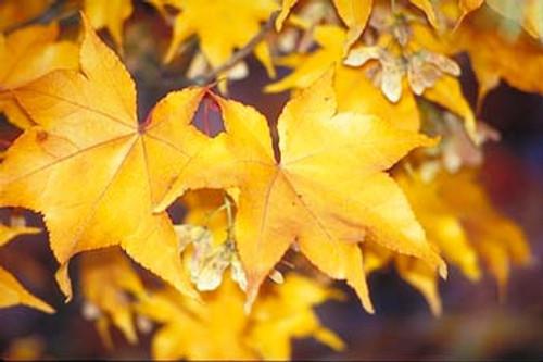 Acer palmatum 'Hogyoku' Japanese Maple Tree