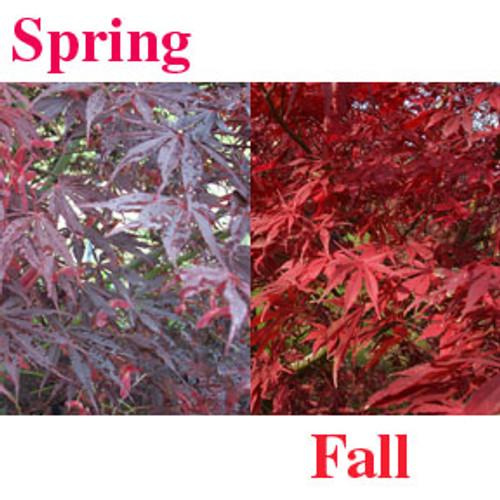 Acer palmatum 'Sumi nagashi' Japanese Maple Tree
