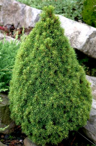 Picea glauca 'Laurin' Miniature Alberta Spruce