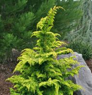 Golden Hinoki Cypress Fernspray Gold