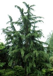 Shalimar Deodar Cedar