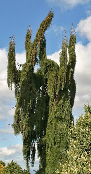 Sequoiadendron Giganteum Pendulum Weeping Giant