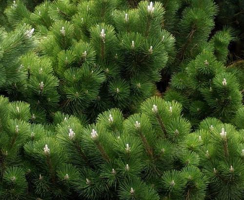 Pinus Thunbergiana Thunderhead Japanese Black Pine