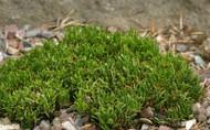 Pinus mugo 'Michelle' Miniature Pine