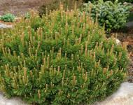 Pinus mugo ' Slow Mound ' Dwarf Mugo Pine