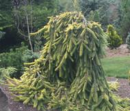 Picea abies ' Gold Drift ' Dwarf Weeping Golden Norway Spruce