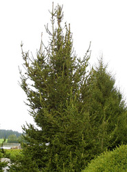 Picea abies ' Hillside Upright ' Narrow Norway Spruce