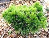 Pinus strobus ' Elkins Dwarf ' Dwarf Eastern White Pine