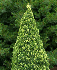 Picea glauca ' Rainbows End ' Dwarf Alberta Spruce