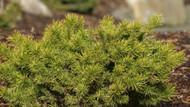 Pinus banksiana ' Manomet ' Dwarf Jack Pine