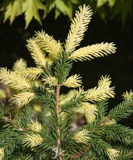Picea abies ' Perry's Gold ' Golden Dwarf Norway Spruce