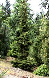 Picea abies ' Kluis ' Dwarf Narrow Norway Spruce