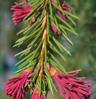 Picea abies ' Rubra Spicata ' Spring Red Norway Spruce