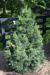 Pinus cembra ' Tip Top ' Dwarf Columnar Swiss Stone Pine