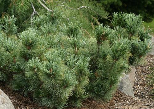 Pinus pumila ' Blue Dwarf ' Dwarf Japanese Stone Pine ...