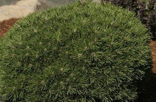 Pinus mugo ' Benjamin ' Miniature Mugo Pine