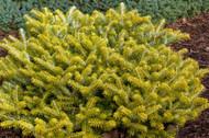 Golden Glow Korean Fir Tree