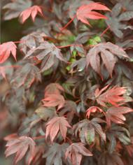 Acer palmatum ' Adrian's Compact ' Dwarf Japanese Maple