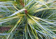 Pinus koraiensis ' Oculus Draconis ' Variegated Korean Pine