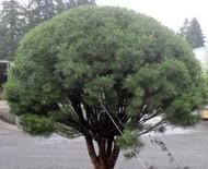 Pinus densiflora ' Umbraculifera ' Tanyosho Japanese Red Umbrella Pine