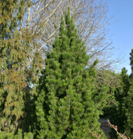 Pinus leucodermis (heldreichii) ' Emerald Arrow ' Narrow Upright Bosnian Pine