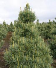 Pinus cembra ' Westerstede ' Dwarf Upright Swiss Stone Pine