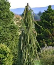 Picea abies ' Cobra ' Weeping Creeping Norway Spruce