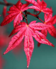 Acer palmatum 'Beni maiko' Japanese Maple Tree spring color