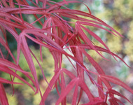 Acer palmatum ' Aka hosada ' Red Strap Leaf Japanese Maple
