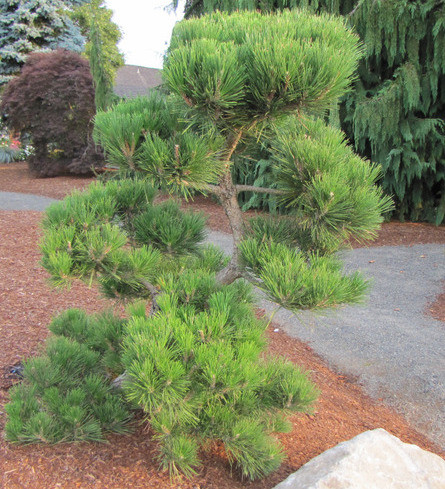 pinus thunbergiana ' hakuho ' dwarf japanese black pine  kigi nursery, Natural flower