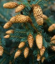 Picea pungens ' Herman Naue ' Dwarf Blue Spruce