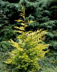 Cupressus leylandii ' Golconda ' Golden Leyland Cypress