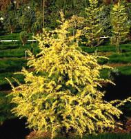 Cedrus deodara ' Gold Cone ' Golden Himalayan Cedar