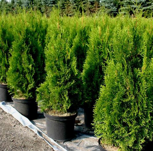 thuja occidentalis 39 smaragd 39 columnar eastern arborvitae kigi nursery. Black Bedroom Furniture Sets. Home Design Ideas