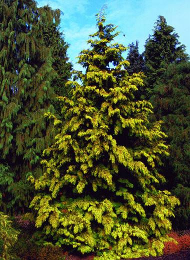 thuja plicata  u0026 39  zebrina extra gold  u0026 39  golden western red
