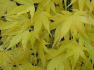Fall color Ukon Japanese Maple Tree