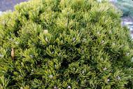 Pinus mugo ' Emerald Dwarf ' Miniature Pumilio Pine