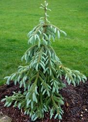Picea englemannii 'Bush's Lace'