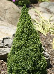 Miniature Alberta Spruce Pixie