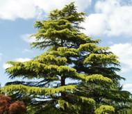 Cedrus deodara 'Aurea' Golden Deodar Cedar