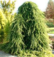 Cedrus deodara 'Pendula' Weeping Deodar Cedar
